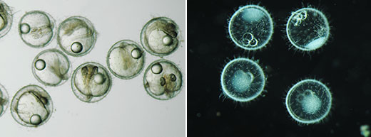 Comparison of images of medaka eggs  Left: brightfield observation; right: darkfield observation