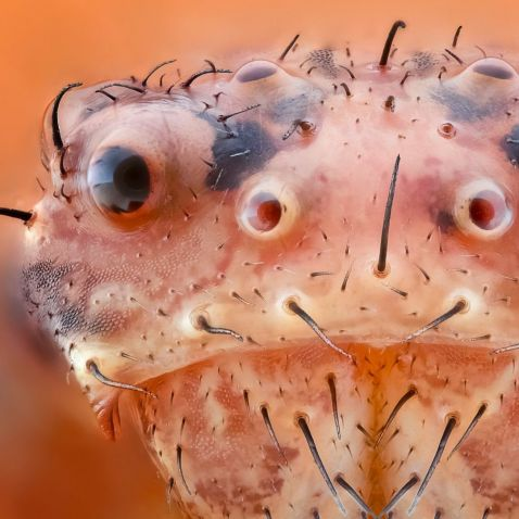 crab spider face